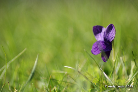 Viola naturalising in the grass