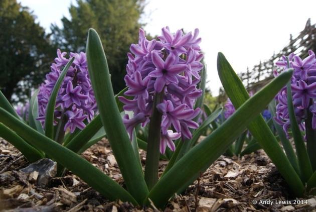 Hyacinthus orientalis 'Anna Lisa'