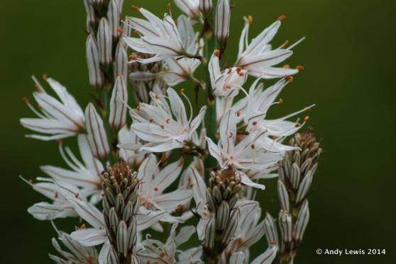 Asphodelus albas Uppark garden
