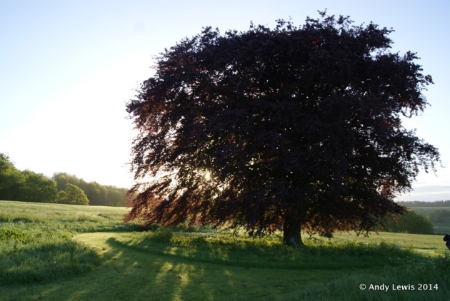 Copper beech in the South Meadow